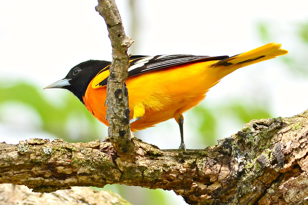 Baltimore Oriole  -  along Wabash River